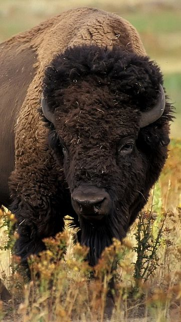 Bison (also called Buffalo) are large, even-toed ungulates in the genus Bison within the subfamily Bovinae. The American bison (Bison bison) is found only in North America. | Flickr