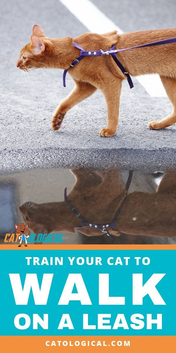 How To Train Your Cat To Walk On A Leash Is It Even Possible Many Indoor Cats Love To Get Outside But It Can Be Hard To Know If