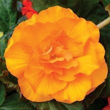 The #Tuberous #Begonia is perfect for low-light areas of a porch or in hanging baskets under the roof. Their structural leaves and a choice of eight vibrant colours will make a statement in areas you never thought possible! For more alternatives, visit us at: http://www.sheridannurseries.com/products_and_services/product_selection/shade_impatiens_alternatives
