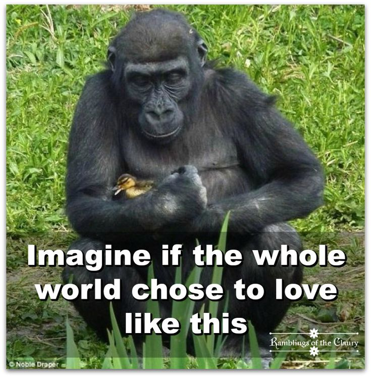 Imagine if the whole world chose to love like this #compassion #tenderness #love #kindness #gentle #gorilla #duckling