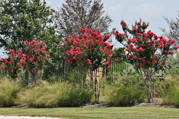 Red crape myrtle deciduous full sun http www for Small flowering trees full sun
