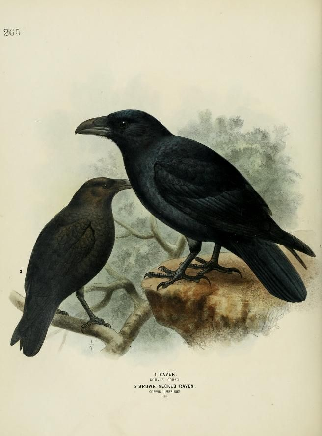Raven + Brown-Necked Raven, A History of the Birds of Europe, H.E. Dresser, 1871-1881. Biodiversity Heritage Library