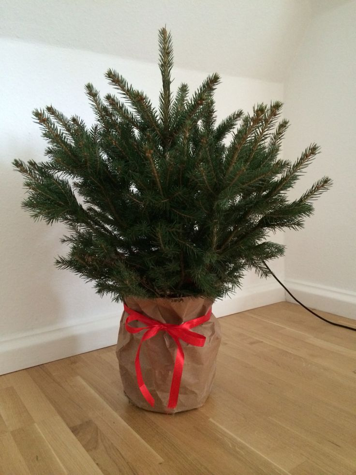 This year's Christmas tree waiting for decoration.