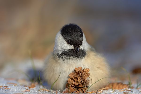 Black capped chickadee All fluffy