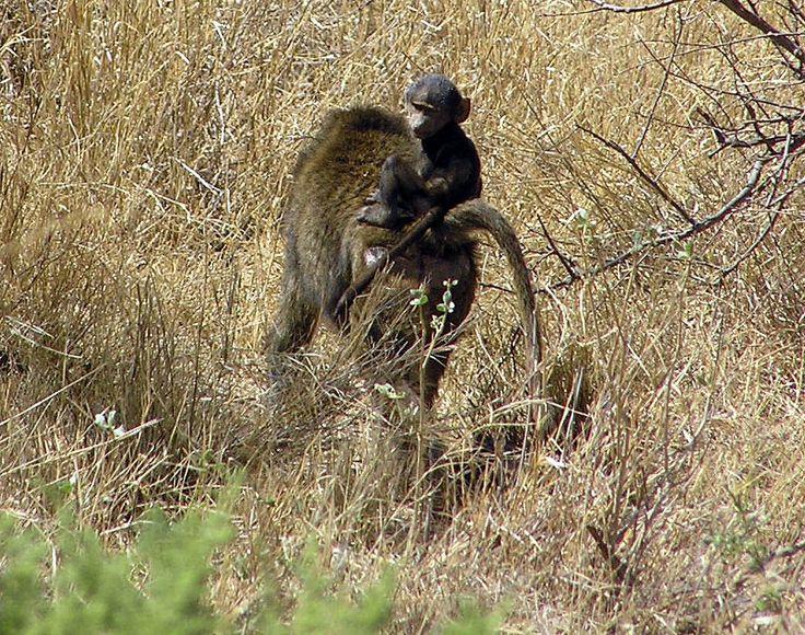 .Chimpanse med sin unge / Kenya