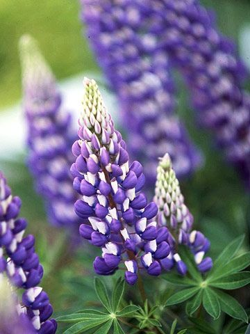 purple & white lupine