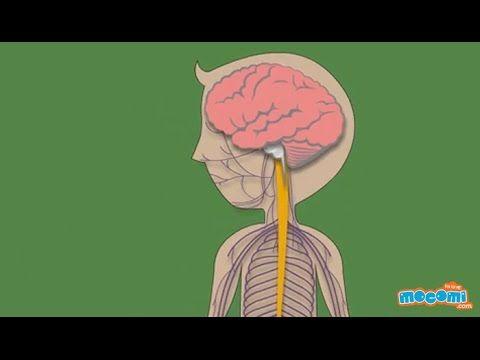 How does the Nervous System Work? - Biology For Kids | Mocomi
