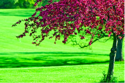 lime green grass and raspberry colored flowered tree.   I should know that tree but it escapes me at the moment.