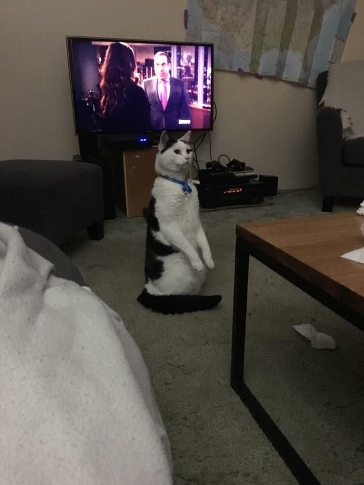 isnt this cat standing beautiful