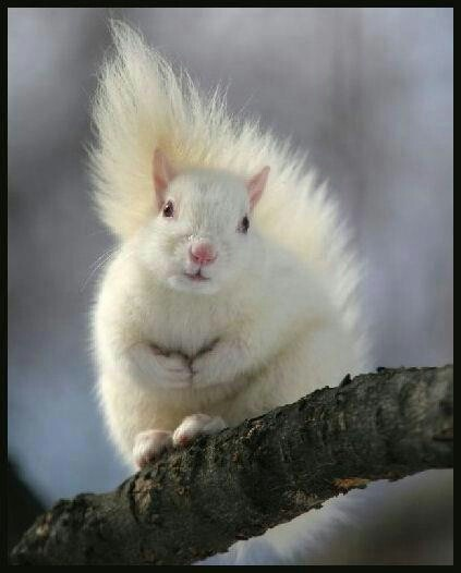 Albino Squirrel Excuse me?  Excuse me please?  May I get directions to the nearest tanning salon?