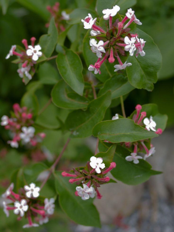 Abelia, blomsterer fra midten av juni, røde blader om høsten, inntil to meter høy