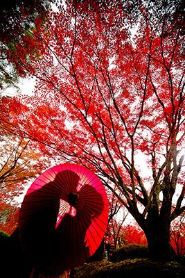 真っ赤な紅葉の世界で、演出も加えながら撮影した1枚。小道具をうまく活用しながら、オリジナリティーのあるロケーションフォトに。京都で和装結婚写真のロケーション撮影。