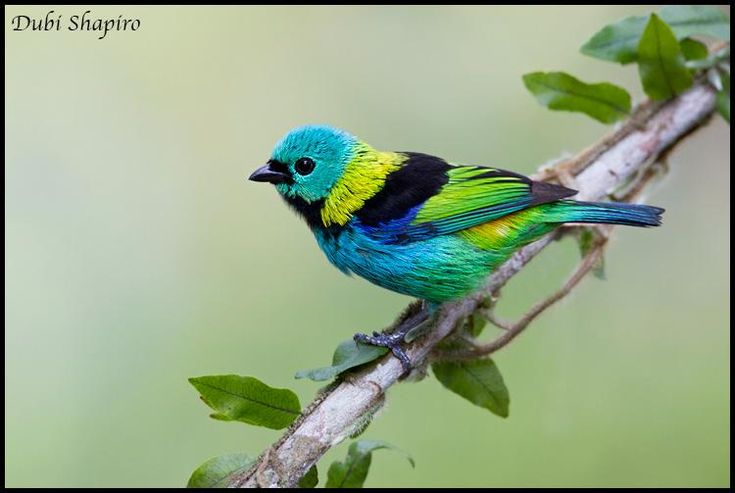 Green-headed Tanager (Tangara seledon) videos, photos and sound recordings | the Internet Bird Collection | HBW Alive