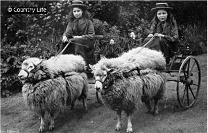 Two wooly sheep carts