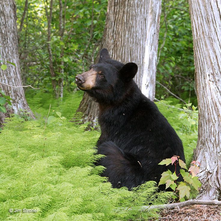 a research on the black bear The american black bear (ursus americanus) ranges in length from one hundred and fifty centimeters to one hundred and eighty centimeters.