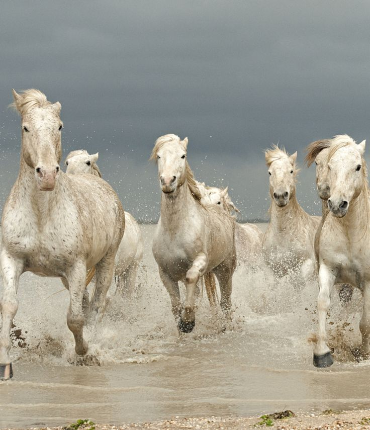 """""""White Horses of The Camargue"""" by Jenni Alexander"""