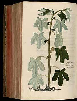 184849 Ficus carica L. / Fuchs, L., New Kreüterbuch, t. 434 (1543)