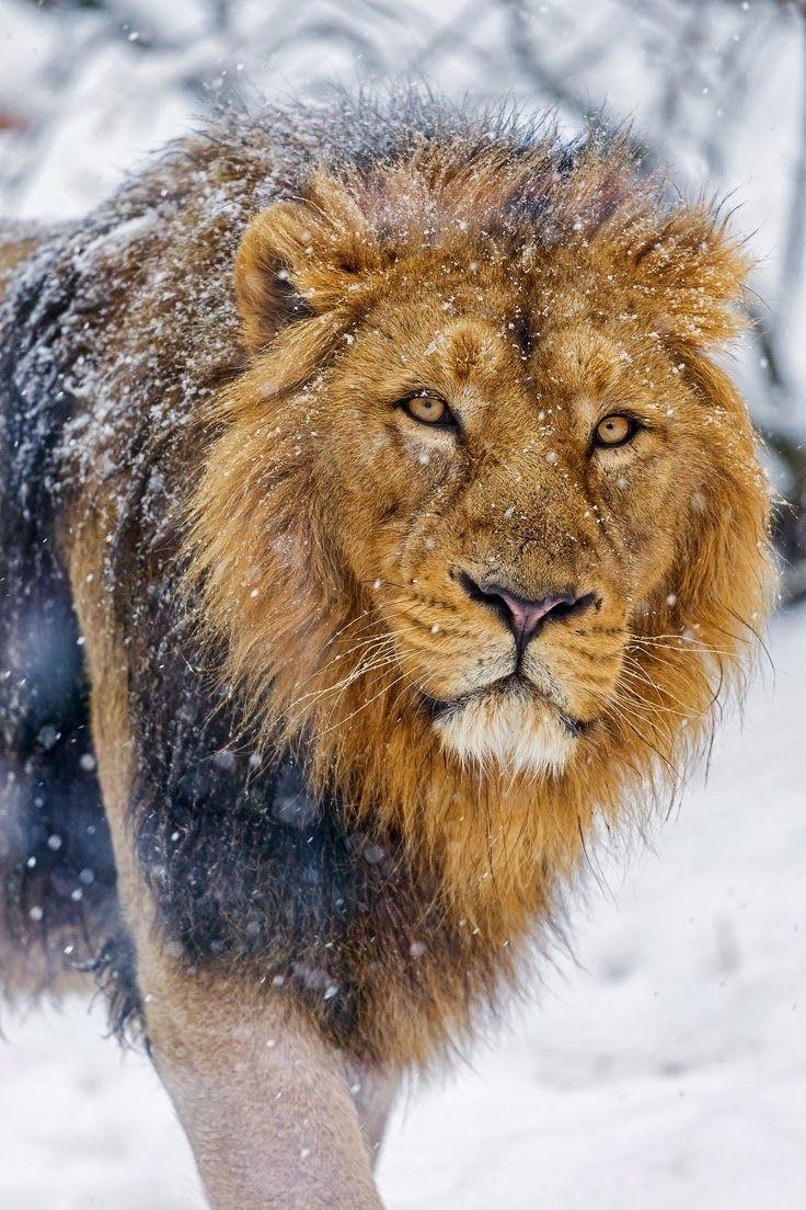 best 25 pet lion ideas on pinterest lion of the desert other