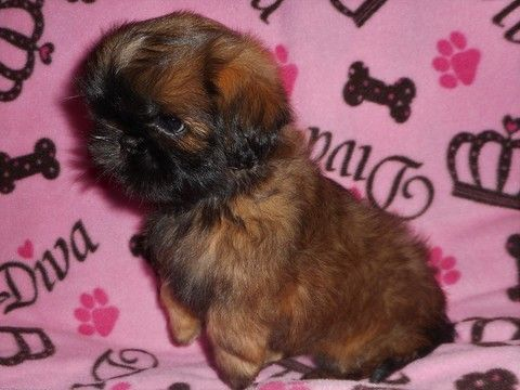Litter of 6 Shih Tzu puppies for sale in WEST CHICAGO, IL. ADN-39510 on PuppyFinder.com Gender: Female. Age: 9 Weeks Old