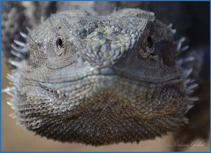 Australian Thrilled Neck Lizard.. and a regular visitor to