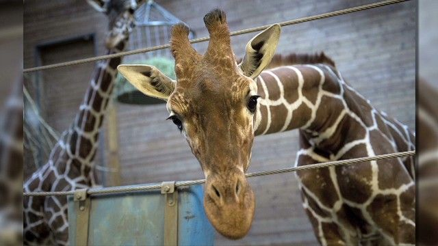 IDA-The zoo killed a young giraffe named Marius to avoid over breeding. The zoo knew his genes would be over represented, celebrated his life, then justified his slaughter with the claim that he was of no genetic value. Copenhagen Zoo is taking a dangerous and irresponsible position, teaching kids it is acceptable to  use animals for entertainment and individual animals are expendable.