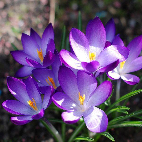 100pcs Garden Courtyard Evergreen Shrub Plants Crocus Sativus Seeds