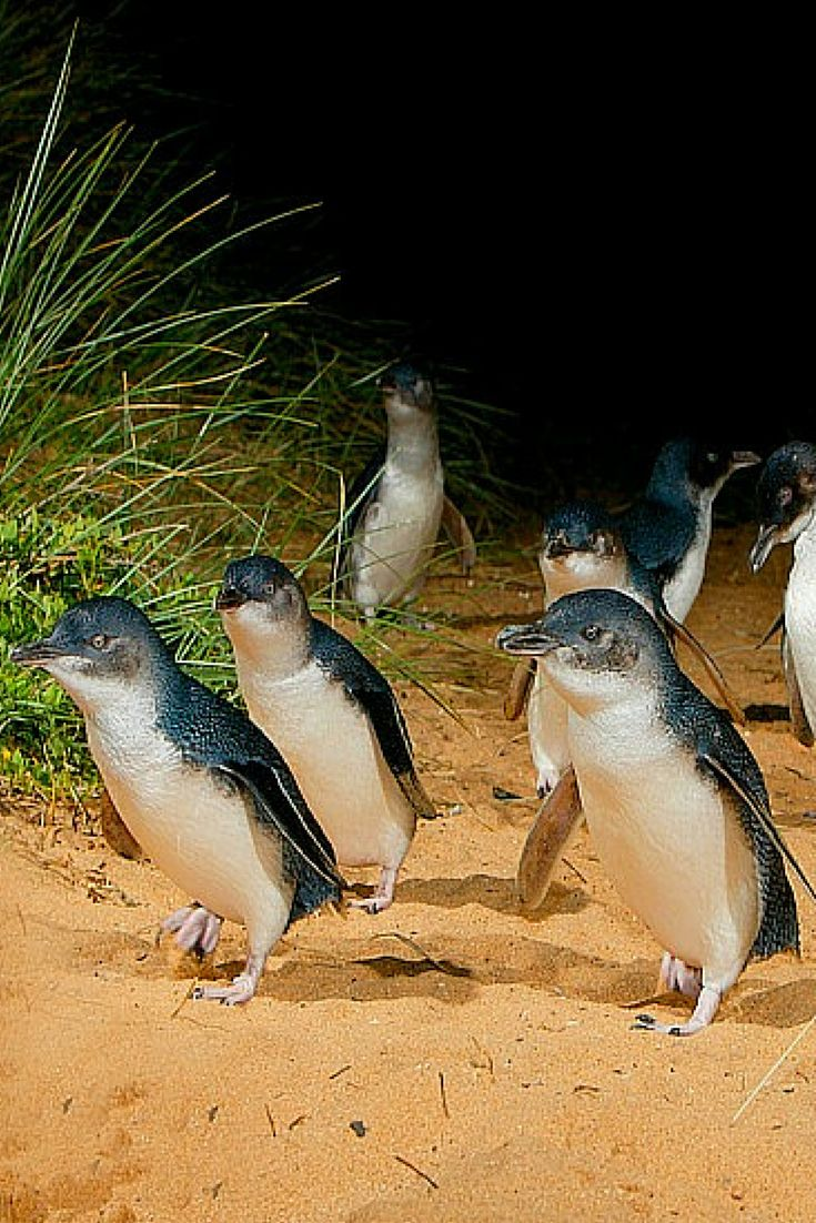 The adorable little penguins on Phillip Island, Australia >>> We did this when I was a child — there's hundreds of them, and they're very cute.
