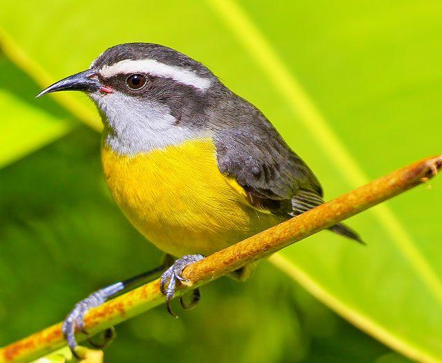 Foto cambacica (Coereba flaveola) por Itamar Campos | Wiki Aves - A Enciclopédia das Aves do Brasil