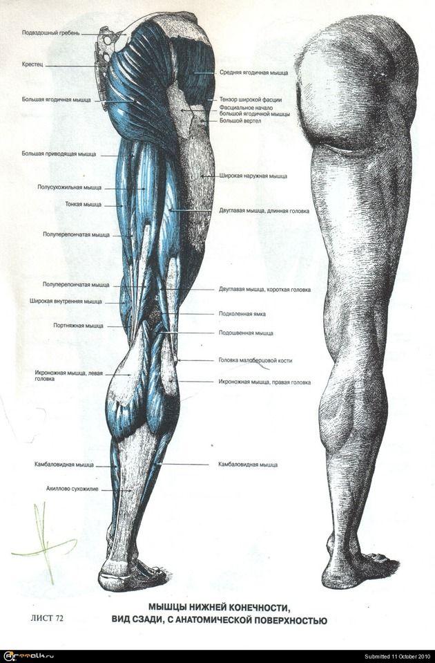 анатомия человека мышцы для художников: 24 тыс изображений найдено в Яндекс.Картинках