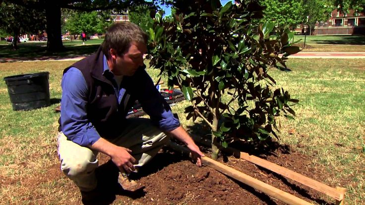 Urban Forester Christ Martin shows viewers how to horizontally stake a newly planted tree.
