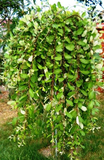 Salix caprea- 'Kilmarnock Willow' 2.5 x 2.5m