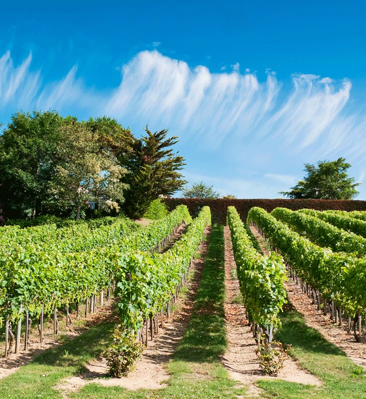 De Loire vallei  is beroemd vanwege haar wijngaarden. Men vermoedt dat de Romeinen hier hun eerste ranken hebben geplant. http://www.canvasholidays.nl/campings/campings-in-frankrijk/loire