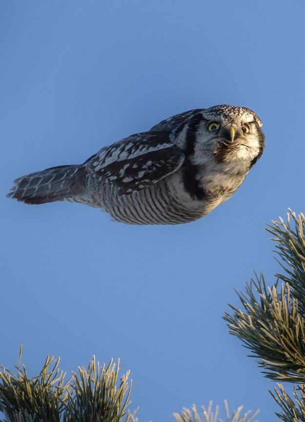 Magnificent. (And a little scary). | This is The Coolest Goddamn Owl You Will See Today
