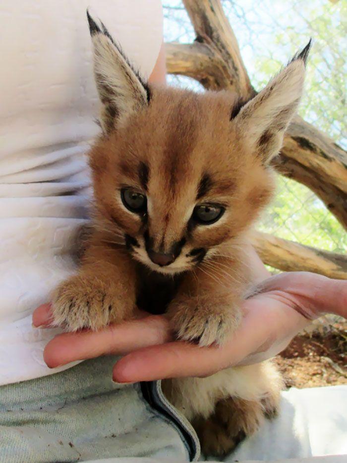 Le caracal la plus mignonne espèce de chat  2Tout2Rien                                                                                                                                                                                 Plus
