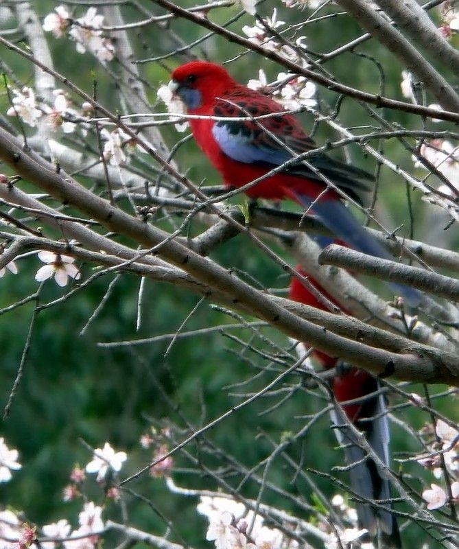 Mountain Parrots Sydney