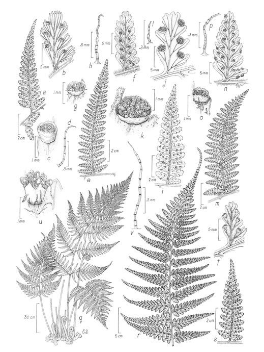 Margaret Flockton - Dennstaedtiaceae-600.jpg 519×690 pixels