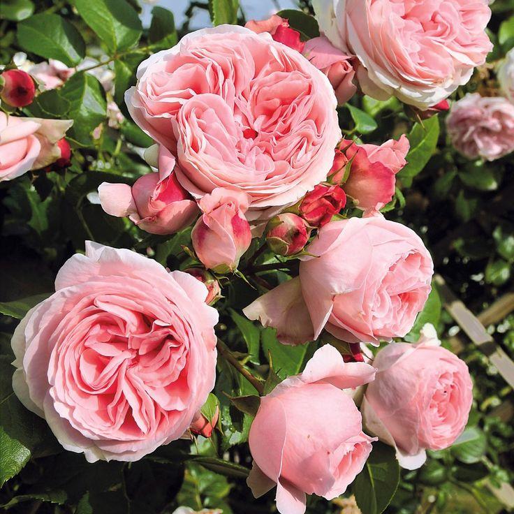 kletterrose giardina online kaufen bei ahrens sieberz g rten und blumen pinterest rosen. Black Bedroom Furniture Sets. Home Design Ideas