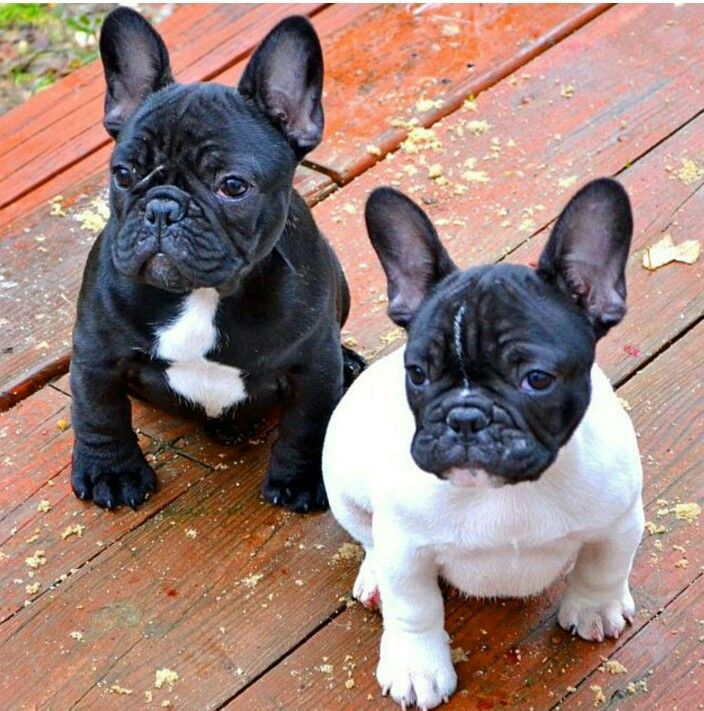 Black and white Frenchies