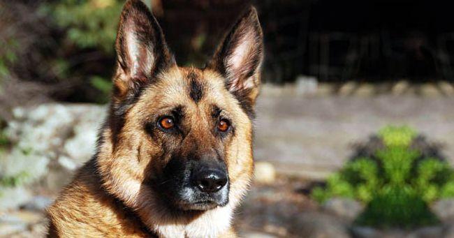 È il Pastore tedesco il cane più amato dagli italiani
