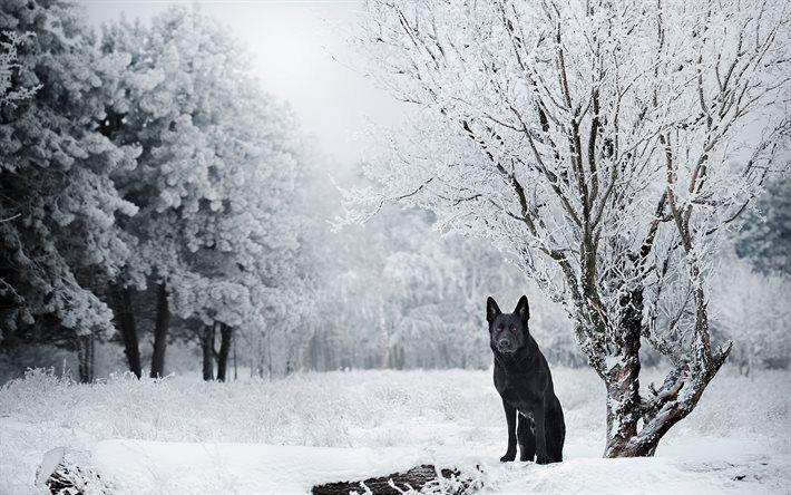 冬, ドイツの羊飼い, 黒犬, 森林, 犬