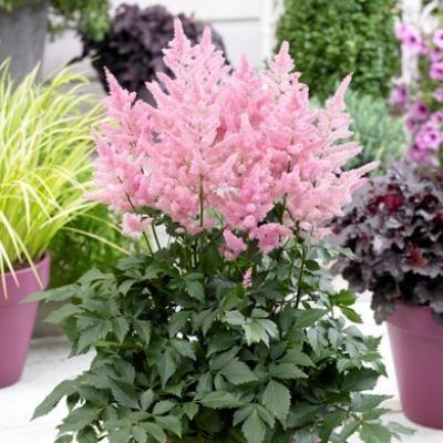 Манящий блеск астильбы | Дачный сад и огород
