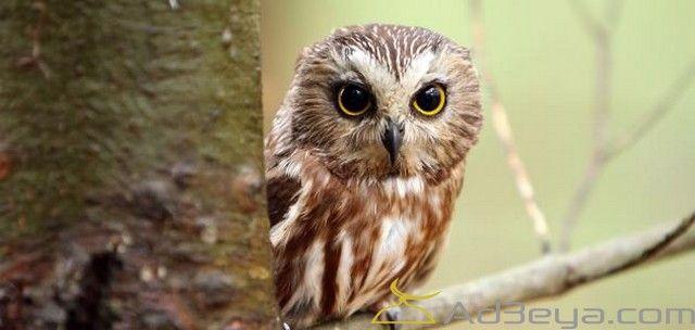 تفسير رؤية حلم البومة البيضاء في المنام البومة البيضاء البومة البيضاء في الحلم البومة البيضاء في المنام Owl Animals Bird