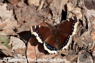 Mourning Cloak Butterfly ~ Nymphalis antiopa
