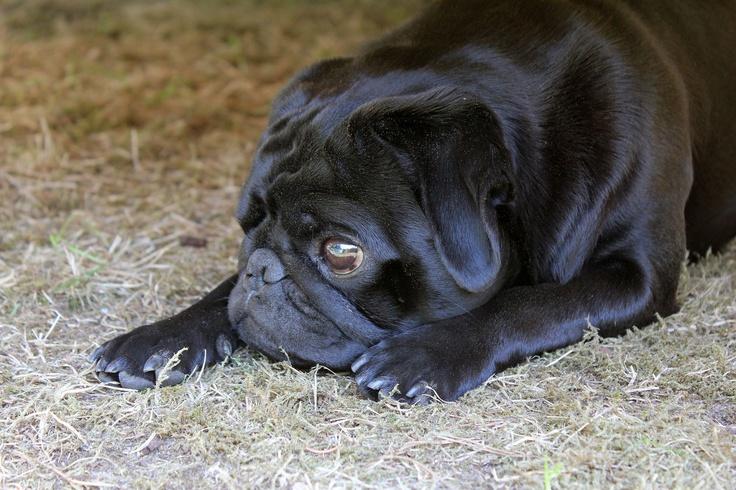 Schwarzer Mops. Black Pug.