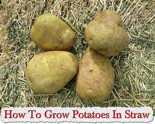 Как Выращивать Картофель В Соломе
