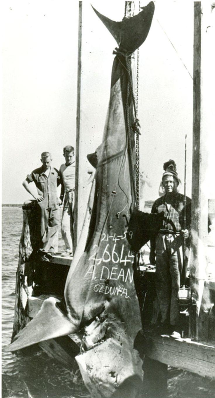 2664pound white shark biggest worldrecord fish caught