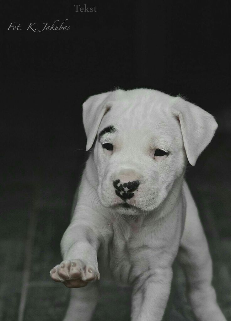 Pin By Thresa D Rabb On Dogo Argentino Dog Argentino Big Dogs Dog Breeds