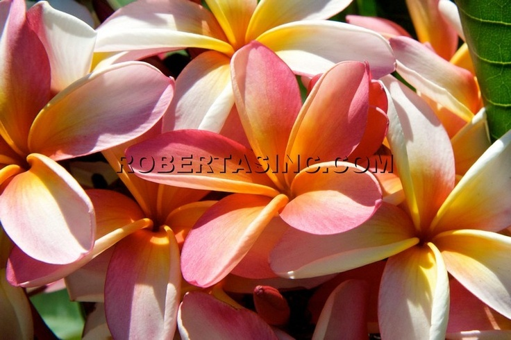 17 Best Images About Hawaii On Pinterest Oahu Plumeria
