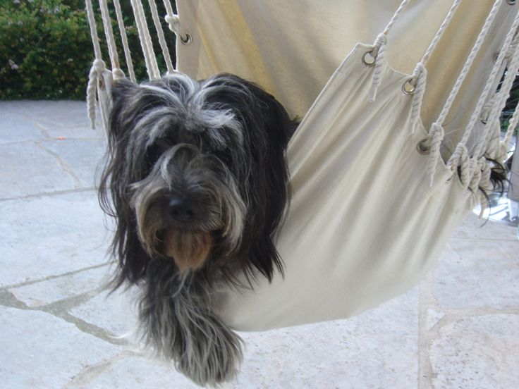 schapendoes dog photo | dog in a hammock photo and wallpaper. Beautiful Schapendoes dog ...