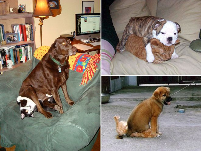 Whole collection of photos of dogs sitting on cats. http://www.sadanduseless.com/2014/09/cat-what-cat/